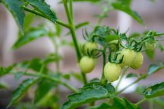 Light green tomatoes royalty free stock image