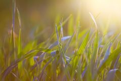 Light green, transparent leaves of grass in the warm spring evening sun, nature background photo. Light green, transparent leaves of grass in the warm spring royalty free stock photos