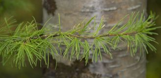 Light green, young sprig of pine royalty free stock image