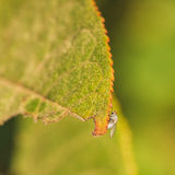 Light Grey Fly on Leaf Edge. Light grey fly with orange eyes sitting on the jagged edge of a leaf with an orange edge Stock Image