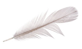 Light grey goose feather on white Stock Photography