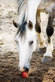 The light grey horse. Noses an apple Royalty Free Stock Photo