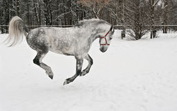The light grey horse gallops Stock Photo