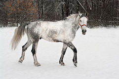Light  grey horse goes on a winter glade Royalty Free Stock Photos