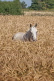 Light grey horse Stock Images