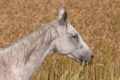 Light grey horse Stock Photos