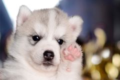 Light grey puppy raising the paw up closeup royalty free stock photo