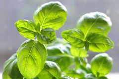 Light Herb. Green herb with Natural Day light through window Stock Photos