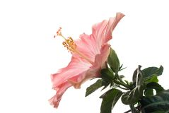 Light hibiscus Royalty Free Stock Image