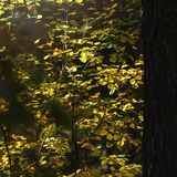 Light Of Hope Concept: Leaves Glowing In Sunlight In A Dark Mysterious Fantasy Forest. Autumn, Fall Colorful Foliage. Light Of Hope Concept: Leaves Glowing In royalty free stock photography