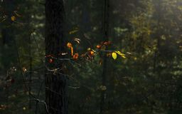 Light Of Hope Concept: Leaves Glowing In Sunlight In A Dark Mysterious Fantasy Forest. Autumn, Fall Colorful Foliage. Ght Of Hope Concept: Leaves Glowing In stock photography