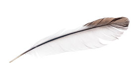 Light isolated feather with brown edge Stock Images