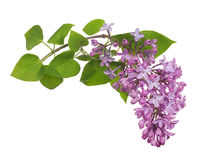 Light isolated lilac inflorescence and green leaves Royalty Free Stock Photos
