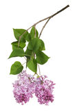Light isolated lilac inflorescence and leaves Royalty Free Stock Photos