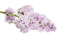 Light isolated lilac small inflorescence Royalty Free Stock Images