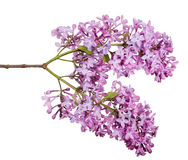 Light isolated lilac two large inflorescences Stock Photo