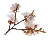 Light isolated sakura branch Stock Images