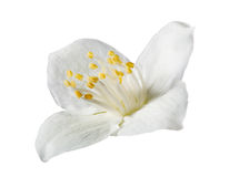 Light jasmin single flower on white Royalty Free Stock Photo
