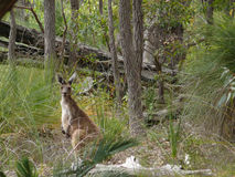 Light kangaroo in thick wood. Stock Photography