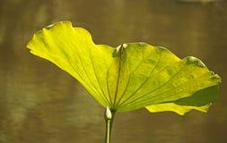 LIGHT ON LARGE LOTUS PLANT LEAF. Image of light on large green leaf of a sacred lotus plant in a garden royalty free stock images
