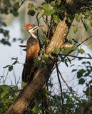 Light on a Large Pileated Woodpecker Royalty Free Stock Images