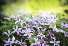 Light lavender clematis flowers in the summer. Stock Photos