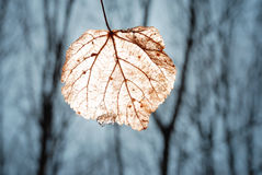 Free Light Leaf Stock Image - 15397921