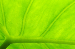 Light and leaf. Reflection of light behind green leaf Stock Images