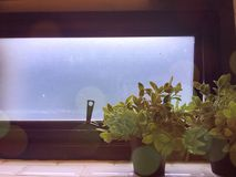 Light leaks, two small plants near windowpane stock photo