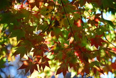 Light through the Leaves. Fall colors are brilliant - especially when highlighted by sunshine Stock Photo