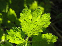 Light on leaves. Royalty Free Stock Photos