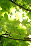 Light through the leaves Royalty Free Stock Photography
