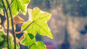 Light and leaves. Sun shine for leaves in the garden and give them back light Royalty Free Stock Photo