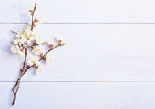 Light lilac  background with flowering apricot branches. Royalty Free Stock Photo