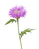 Light lilac flower isolated on white background. Stock Images