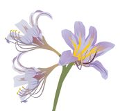 Light lilac lily illustration Royalty Free Stock Photography
