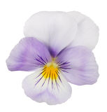 Light lilac pansy bloom on white Stock Image