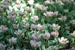 Light lilac tulip flowers close-up soft lighting. Soft and gentle spring flower natural background. stock images