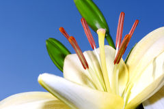 Light lily closeup Royalty Free Stock Photo