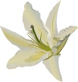 Light lily flower isolated on white Royalty Free Stock Images
