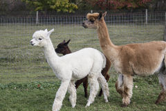 Light Llama Royalty Free Stock Photography