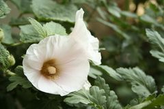 Light mallow. Flower on a green bush in an autumn garden Stock Image