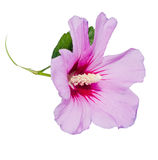 Light mauve Hibiscus rosa-chinensis flower Royalty Free Stock Photo