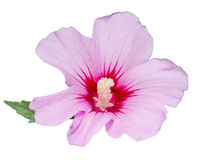 Light mauve Hibiscus rosa-chinensis flower Royalty Free Stock Images