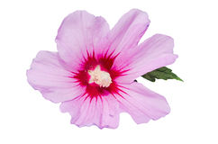 Light mauve Hibiscus rosa-chinensis flower Royalty Free Stock Image