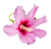 Light mauve Hibiscus rosa-chinensis flower Stock Photography