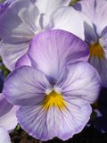 Light mauve pansies. Mauve pansies group in the sunlight Stock Photos