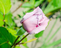 Light mauve rose on branch Royalty Free Stock Image
