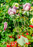 Light mauve roses on branch Stock Image