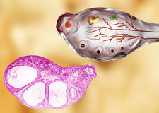 Light micrograph and illustration of ovary Royalty Free Stock Photos